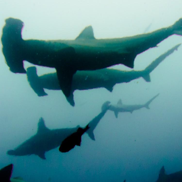 Costa Rica_Cocos Island_Undersea Hunter_Hammerhaie