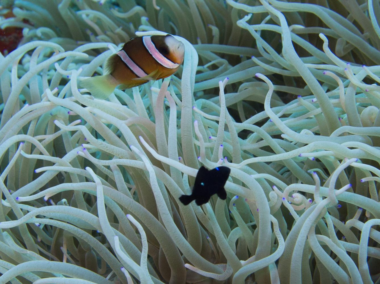Clownfisch_Anemonenfisch_Nemo_-10