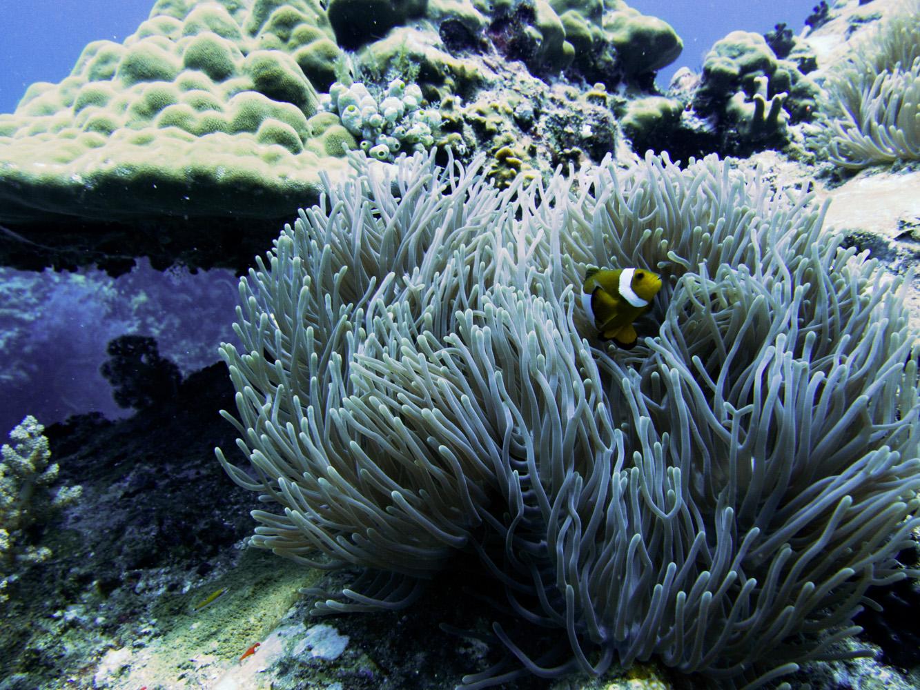 Clownfisch_Anemonenfisch_Nemo_-13