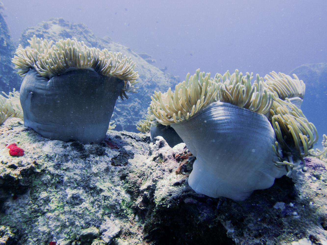Clownfisch_Anemonenfisch_Nemo_-14