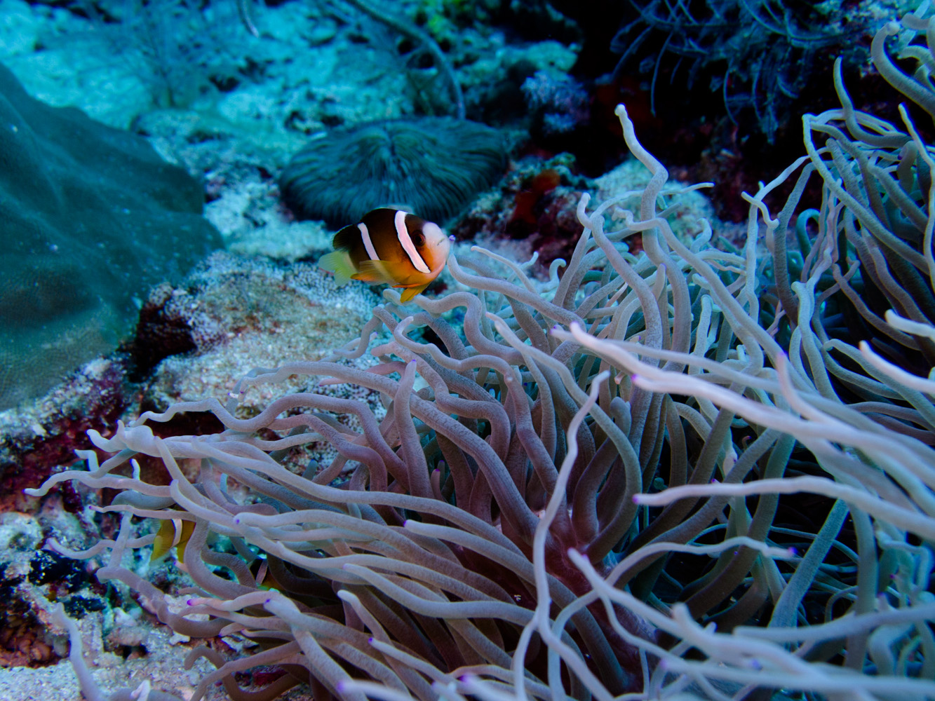 Clownfisch_Anemonenfisch_Nemo_-16