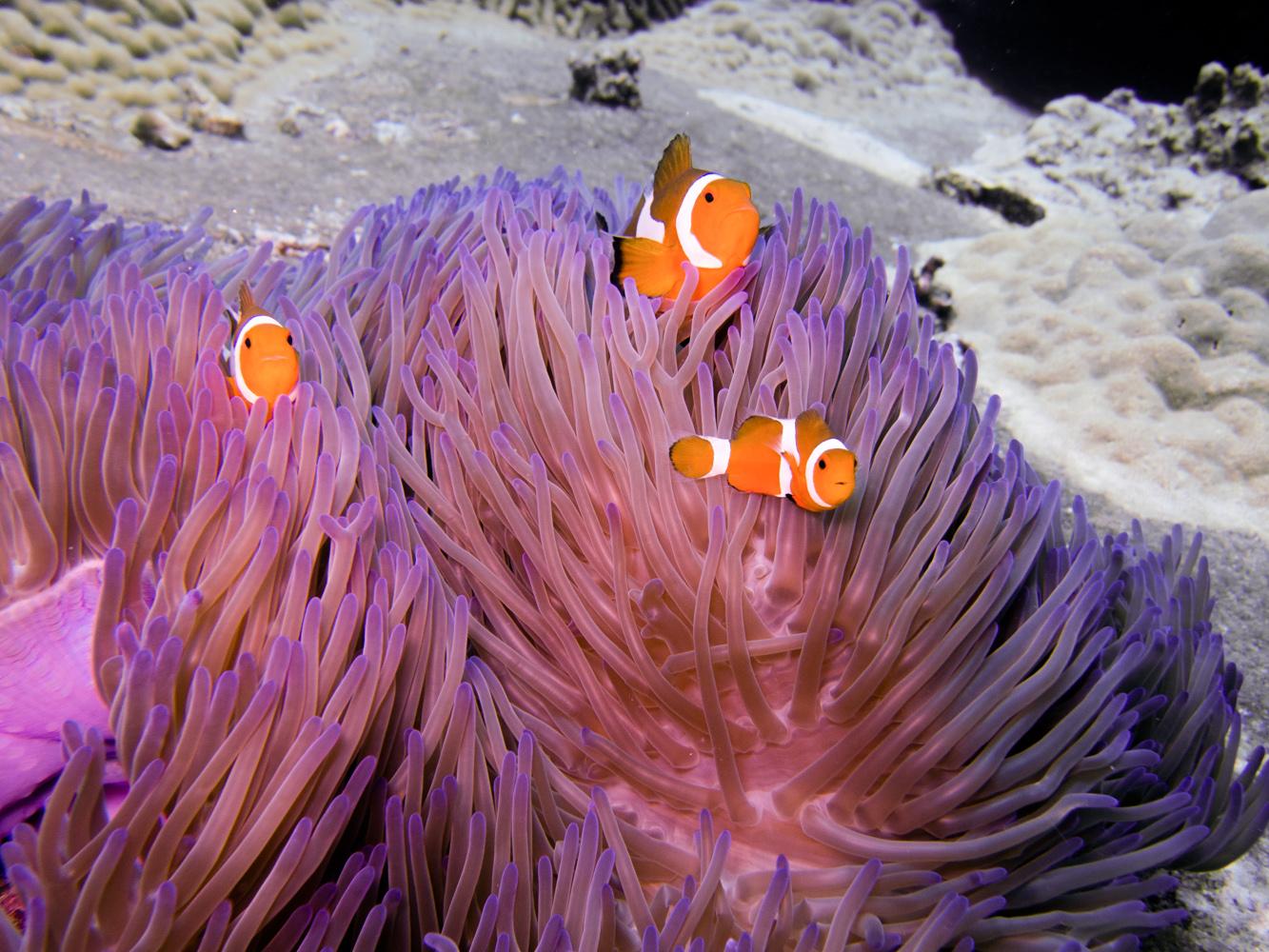Clownfisch_Anemonenfisch_Nemo_-21