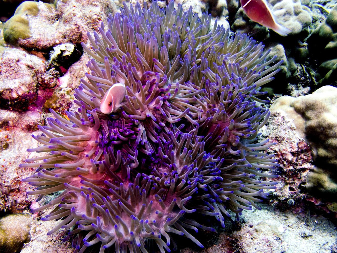 Clownfisch_Anemonenfisch_Nemo_-25