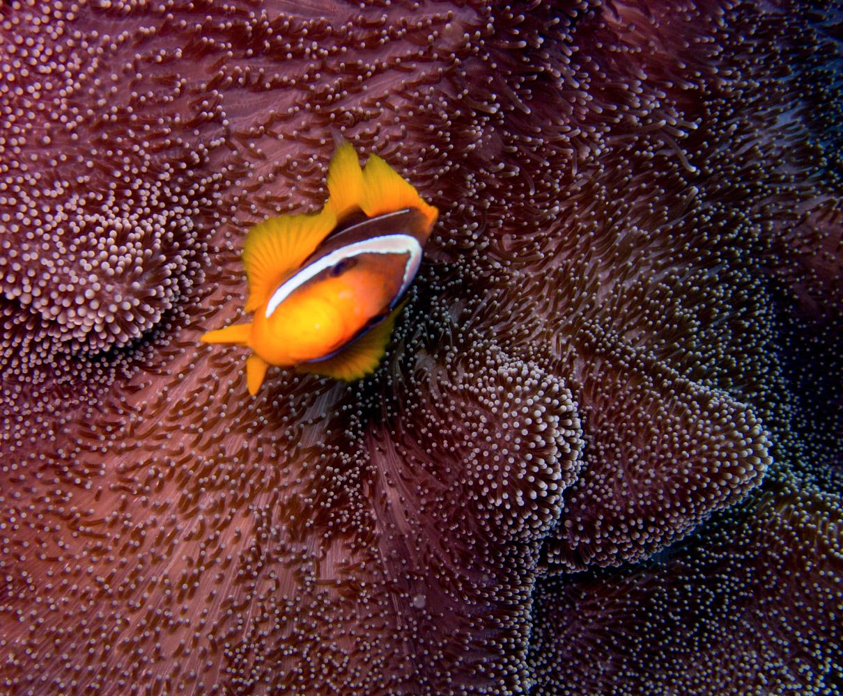 Clownfisch_Anemonenfisch_Nemo_-26