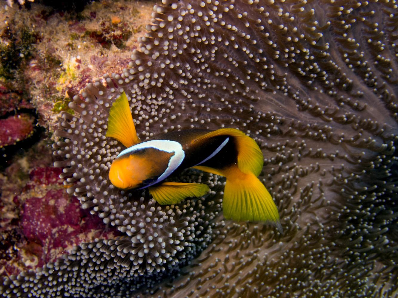 Clownfisch_Anemonenfisch_Nemo_-27