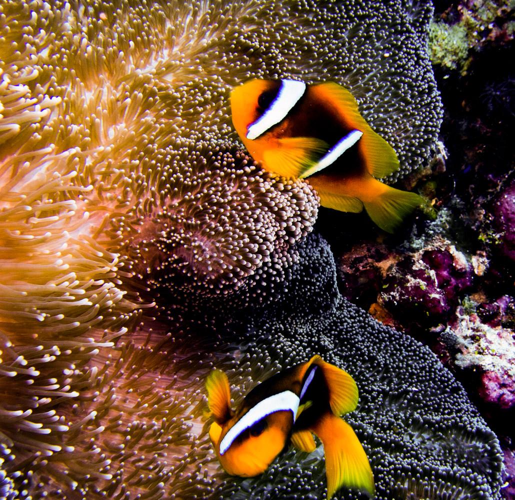 Clownfisch_Anemonenfisch_Nemo_-28