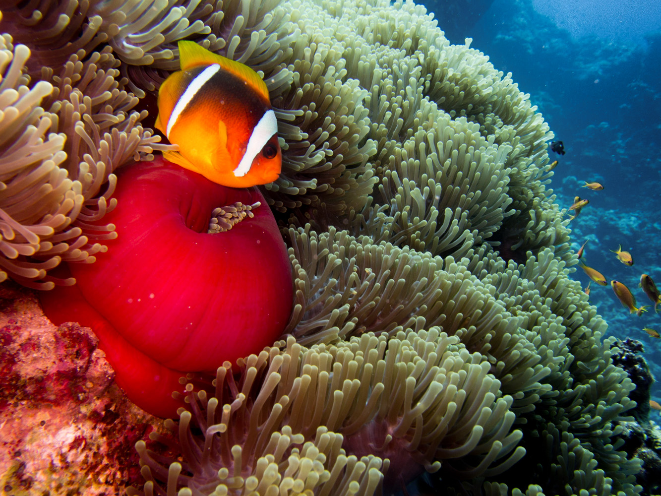 Clownfisch_Anemonenfisch_Nemo_-29