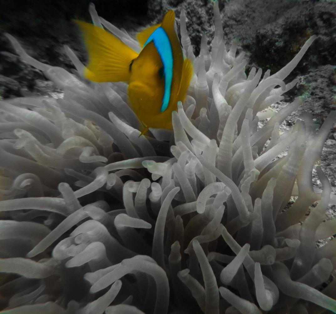 Clownfisch_Anemonenfisch_Nemo_-30