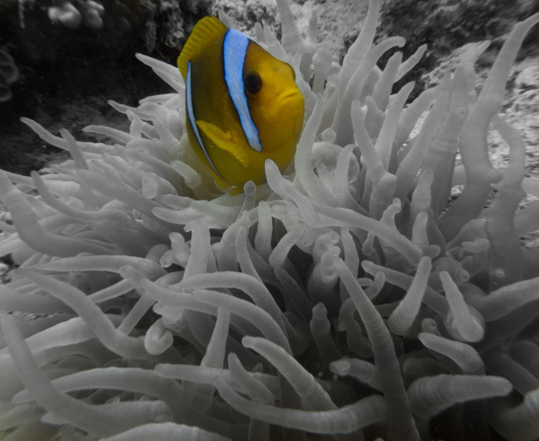 Clownfisch_Anemonenfisch_Nemo_-31