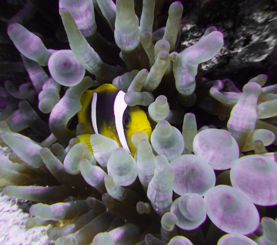 Clownfisch_Anemonenfisch_Nemo_-32