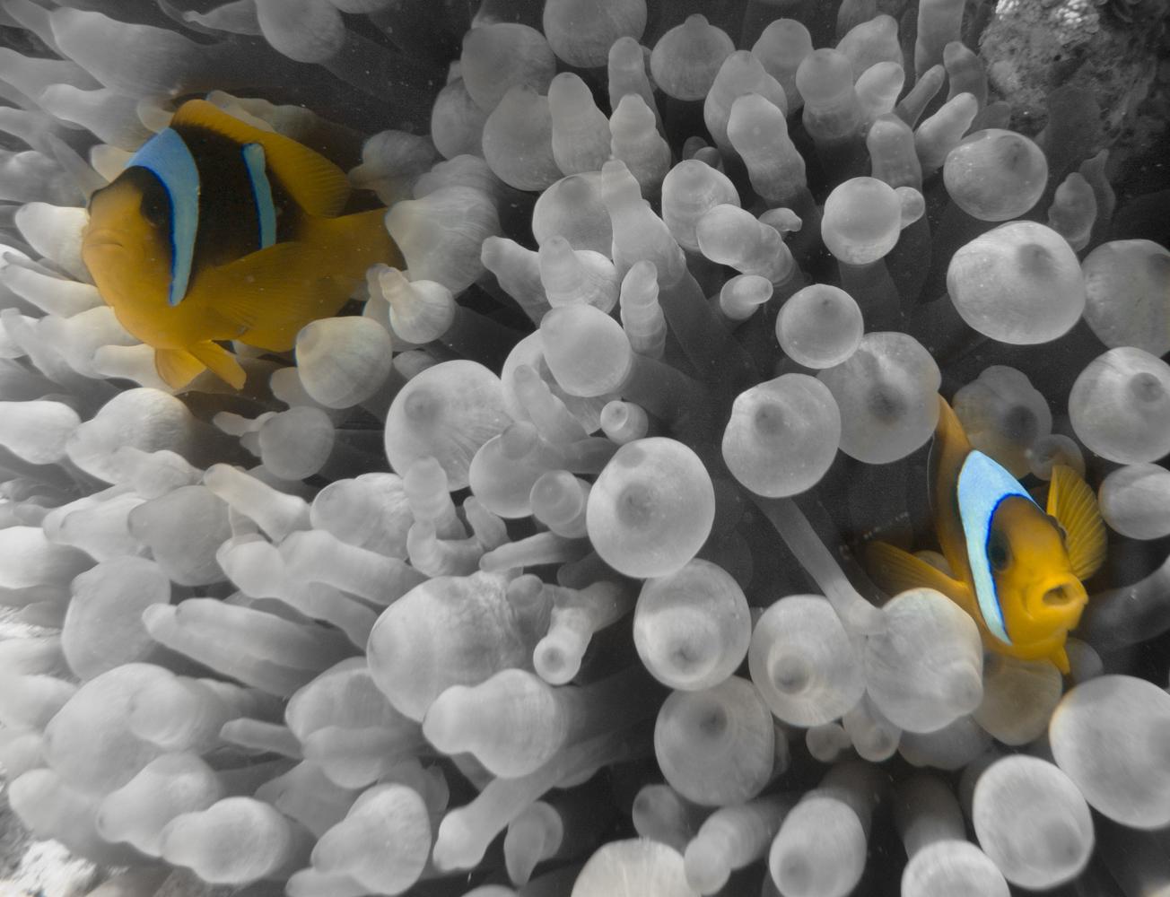 Clownfisch_Anemonenfisch_Nemo_-33