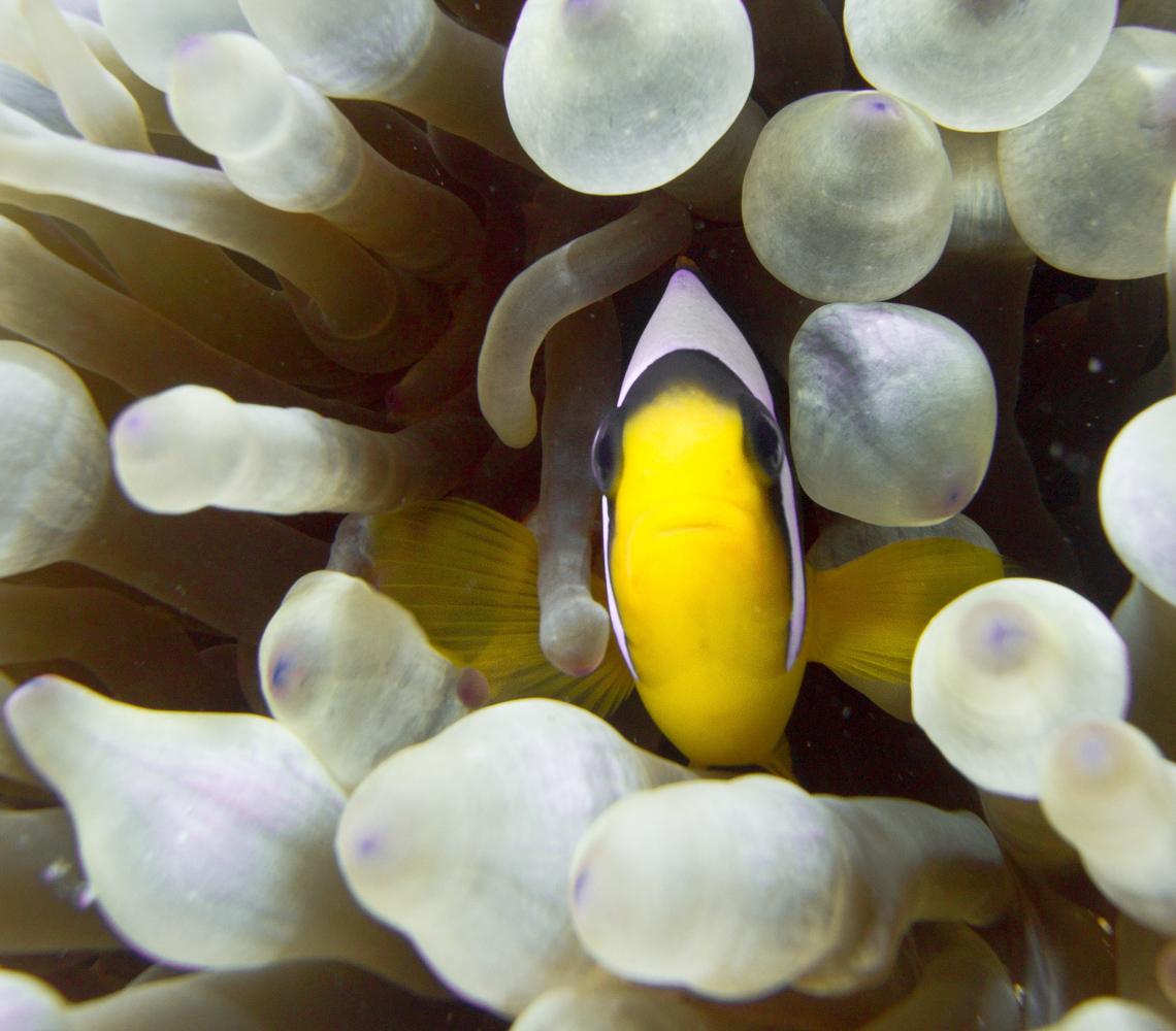 Clownfisch_Anemonenfisch_Nemo_-34