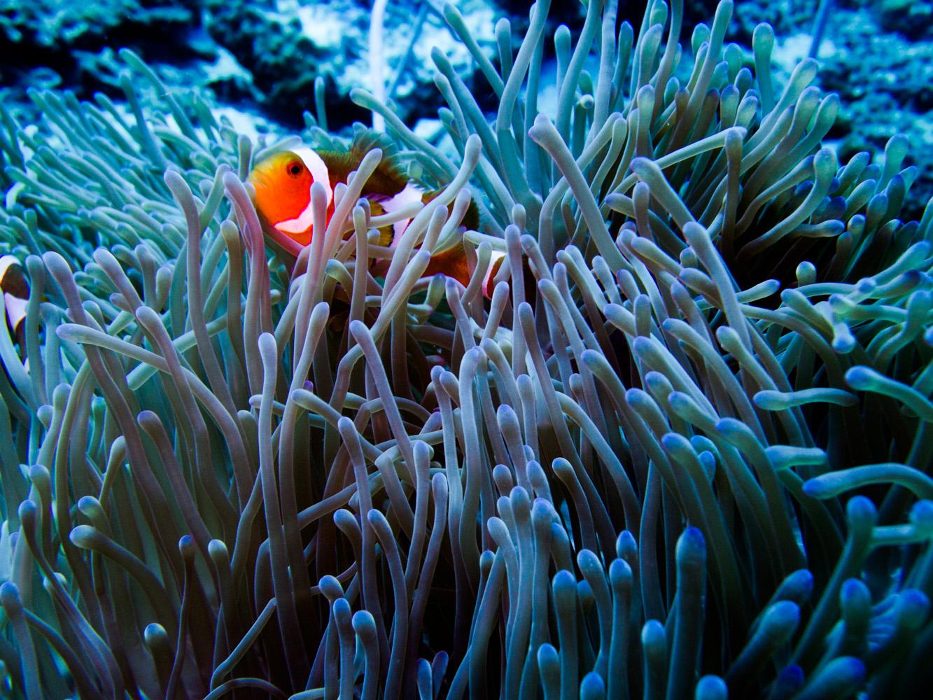 Clownfisch_Anemonenfisch_Nemo_-48