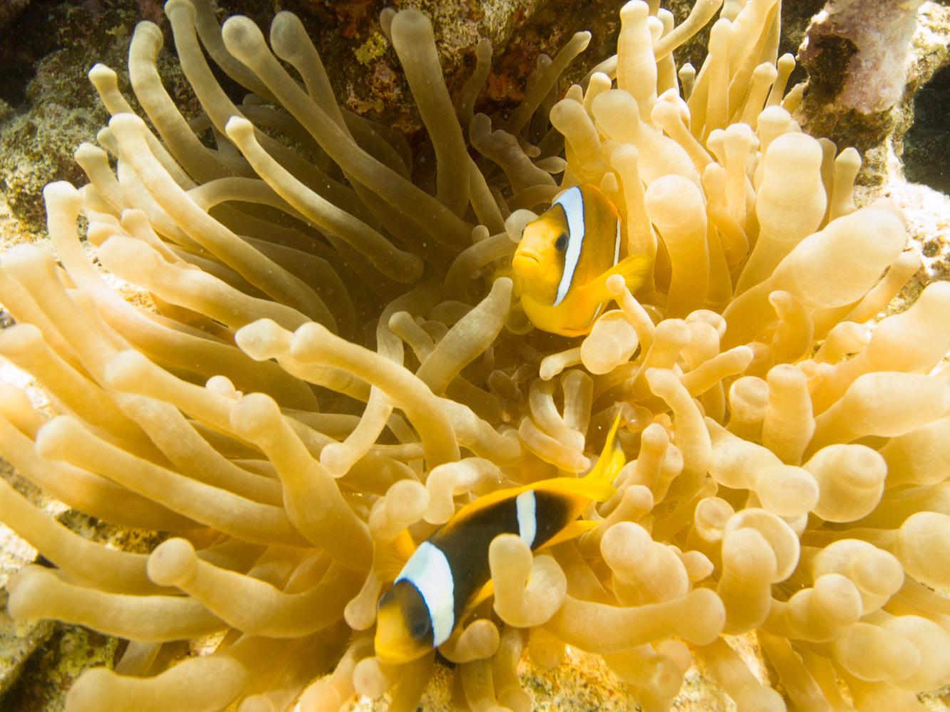 Clownfisch_Anemonenfisch_Nemo_