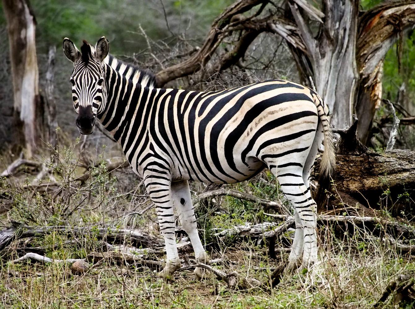 Südafrika_Southafrica_Kruger_Krüger_Nationalpark-9