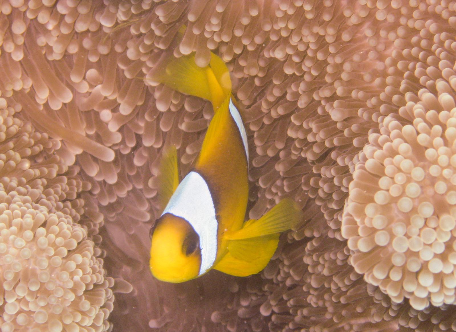Ägypten_ Golden_Dolphin_StJohns_Rocky_Tauchsafari-6