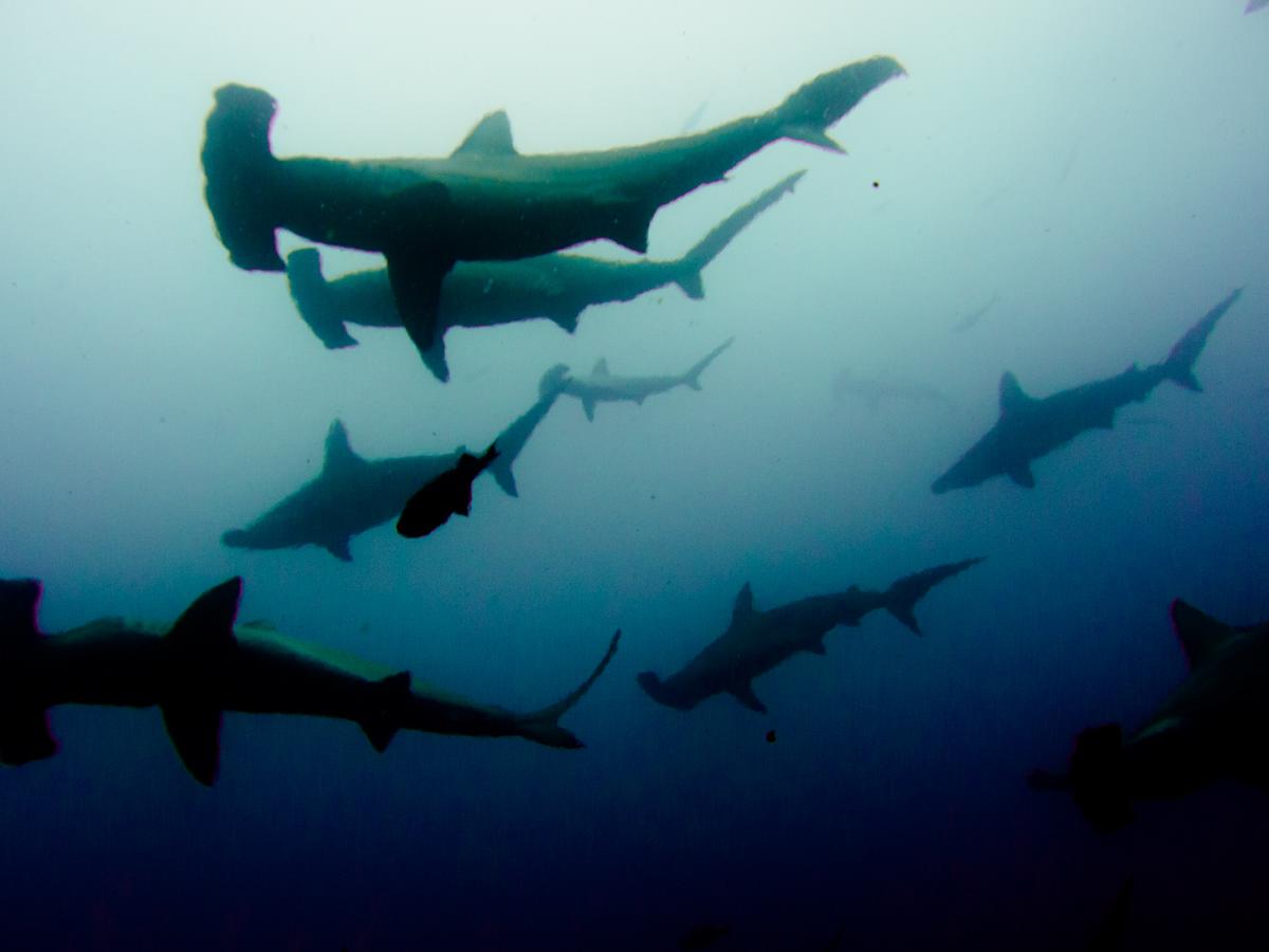 Costa_Rica_Cocos_Island_Undersea_Hunter_Hammerhaie-10