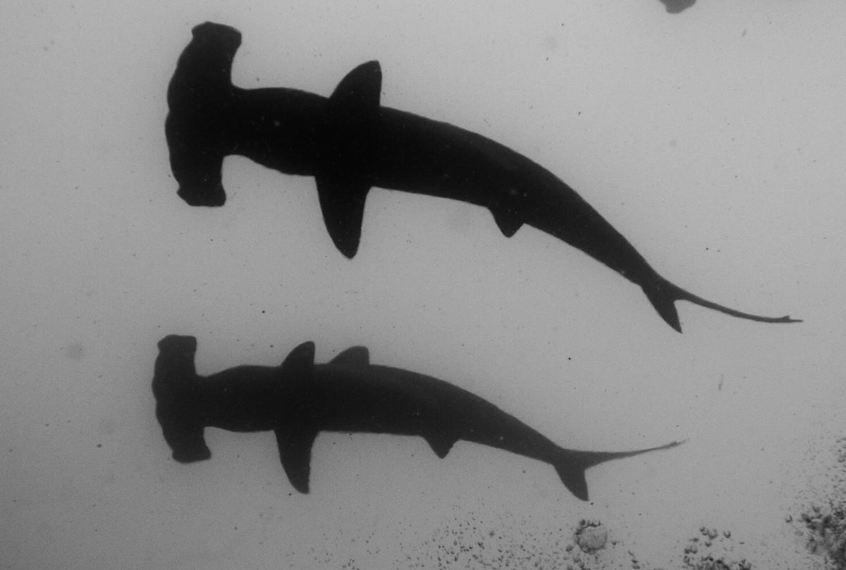 Costa_Rica_Cocos_Island_Undersea_Hunter_Hammerhaie-11