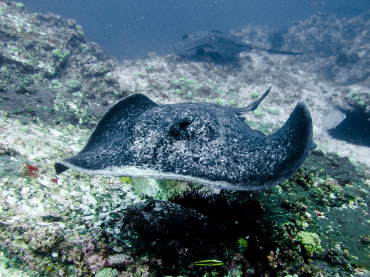 Costa_Rica_Cocos_Island_Undersea_Hunter_Hammerhaie-13