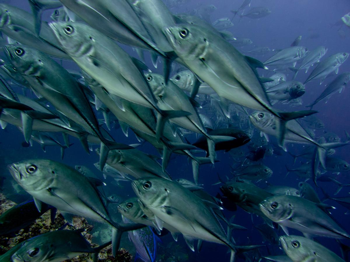 Costa_Rica_Cocos_Island_Undersea_Hunter_Hammerhaie-14