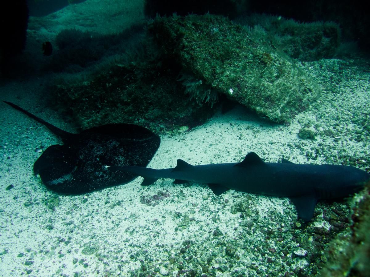 Costa_Rica_Cocos_Island_Undersea_Hunter_Hammerhaie-18
