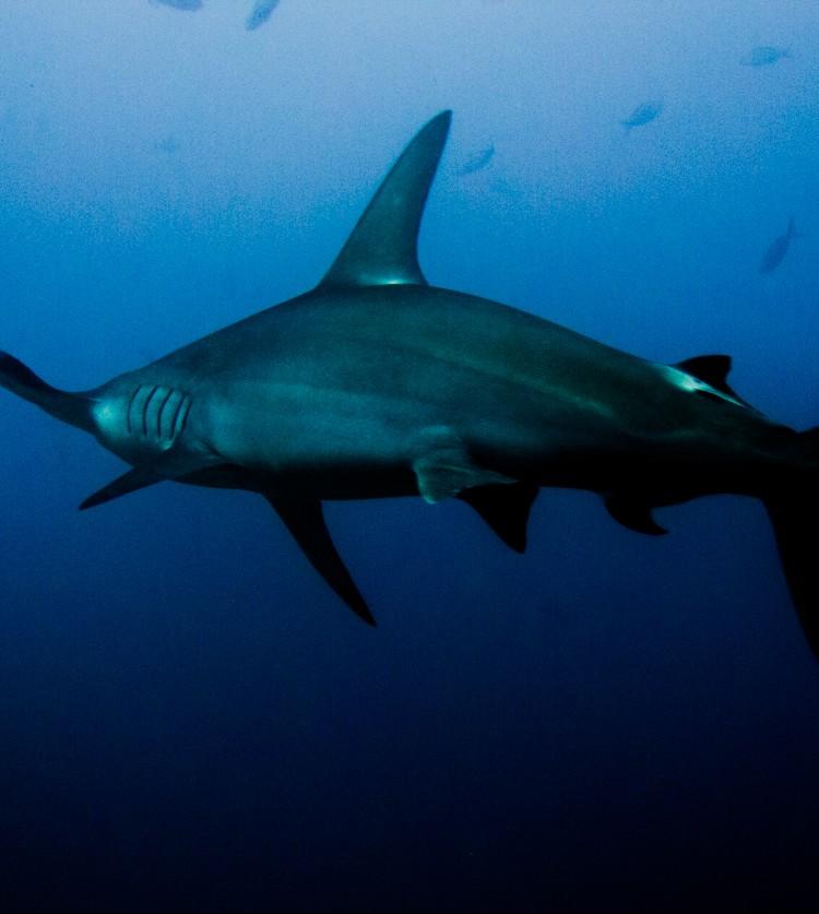 Costa_Rica_Cocos_Island_Undersea_Hunter_Hammerhaie-25