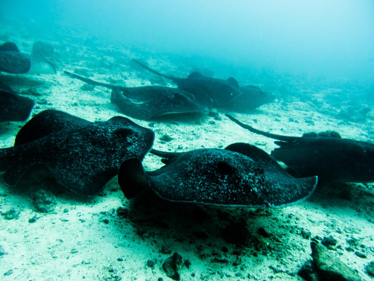 Costa_Rica_Cocos_Island_Undersea_Hunter_Hammerhaie-26