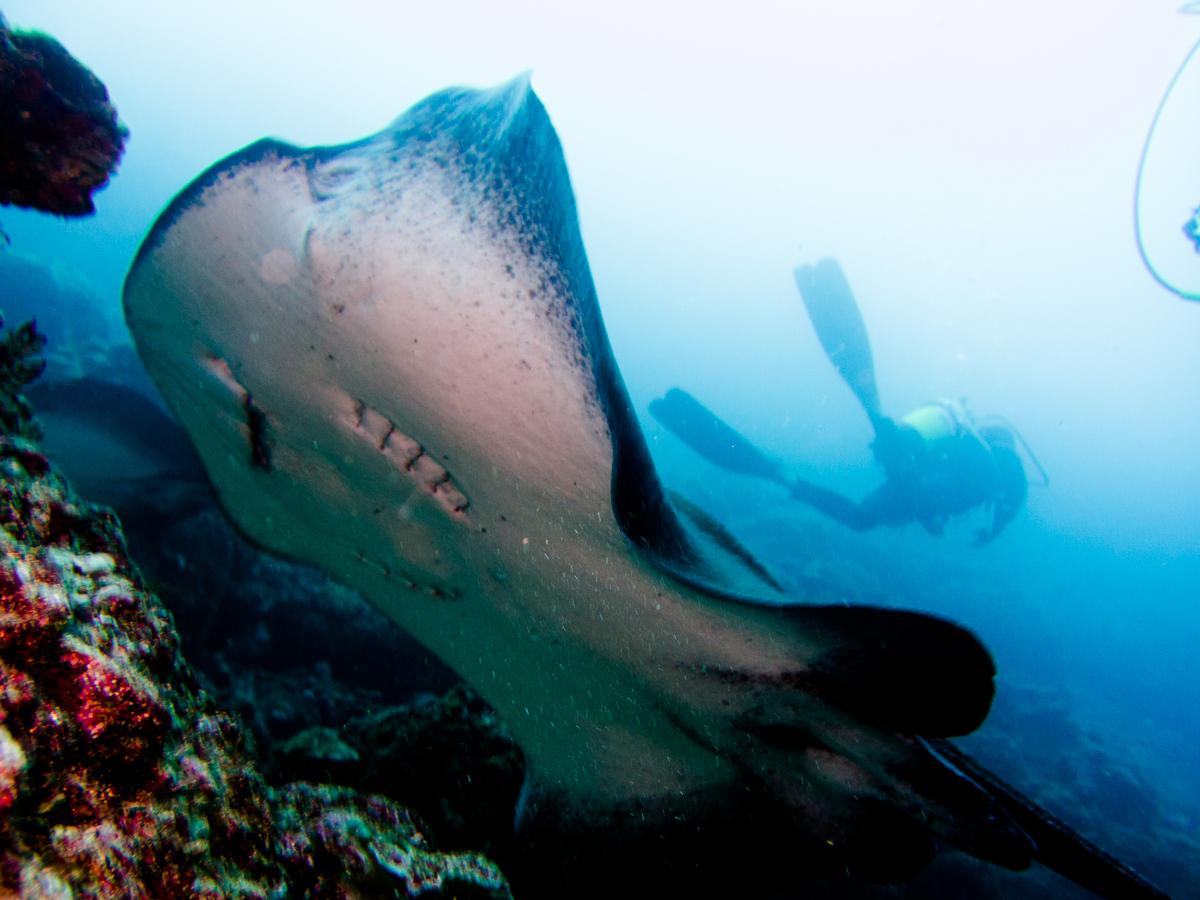 Costa_Rica_Cocos_Island_Undersea_Hunter_Hammerhaie-27
