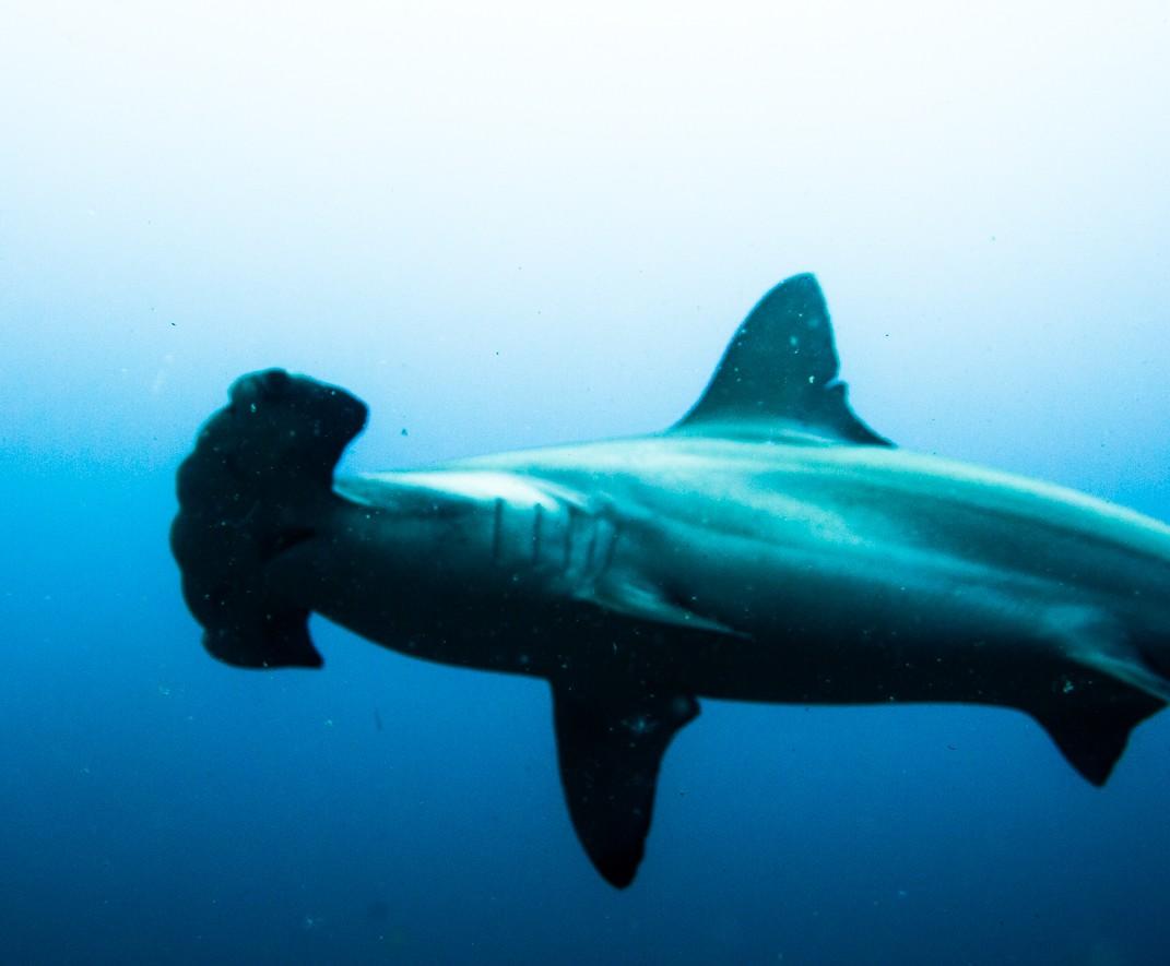 Costa_Rica_Cocos_Island_Undersea_Hunter_Hammerhaie-28