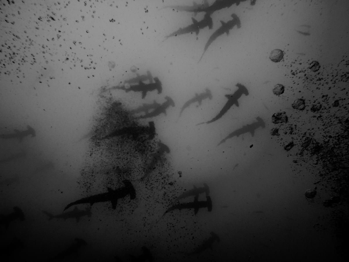Costa_Rica_Cocos_Island_Undersea_Hunter_Hammerhaie-8