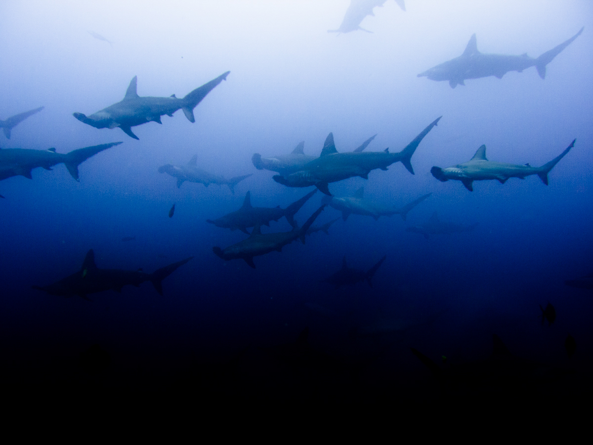 Costa_Rica_Cocos_Island_Undersea_Hunter_Hammerhaie-9