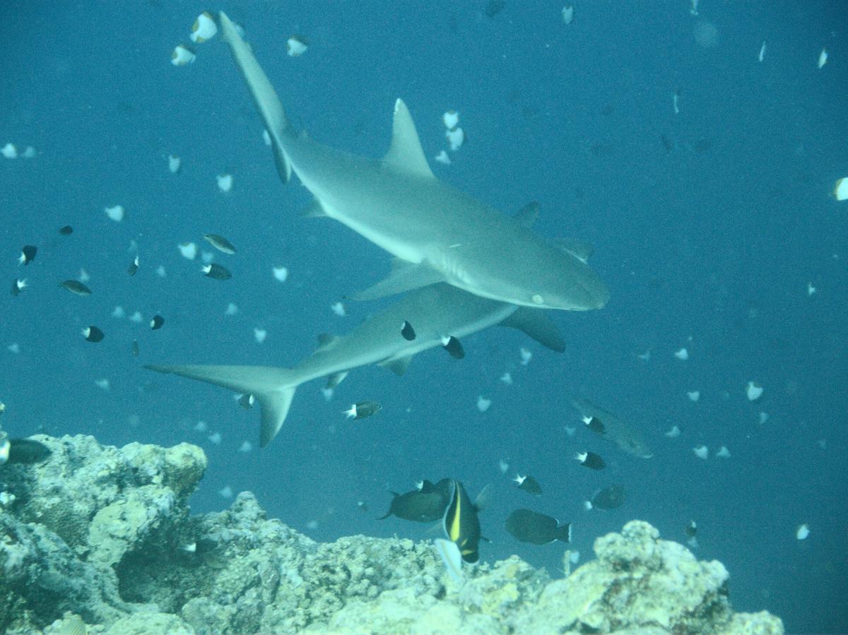 Palau_BlueCorner_BlueChannel_Sharks-10