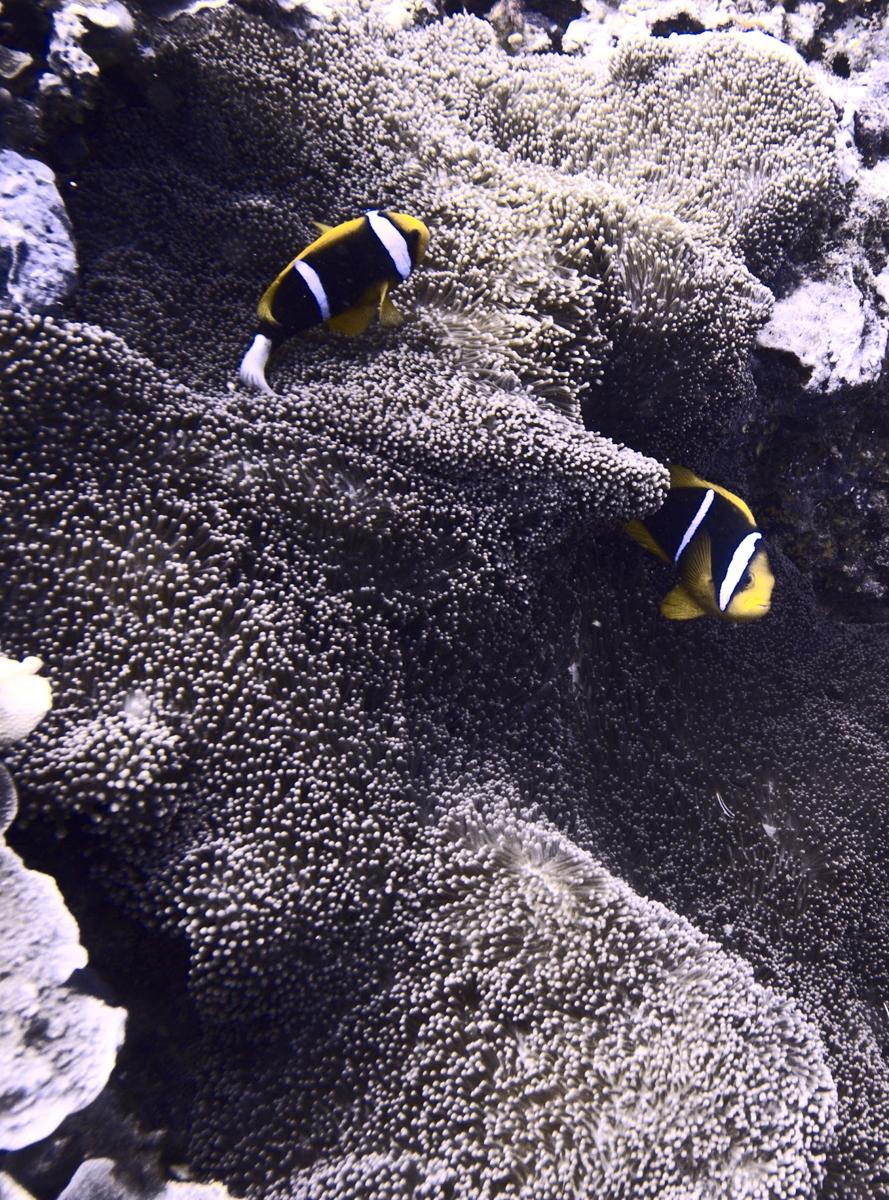Palau_BlueCorner_BlueChannel_Sharks-6
