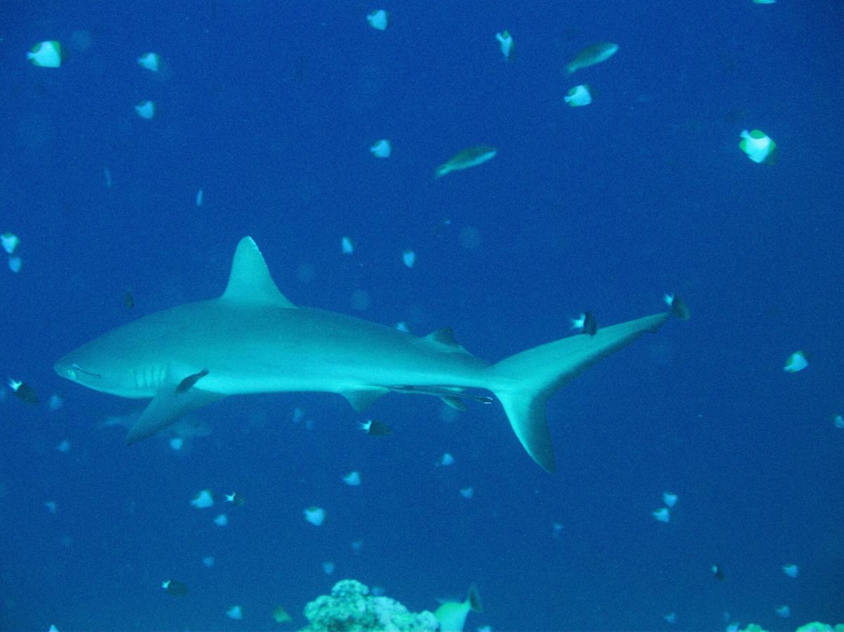 Palau_BlueCorner_BlueChannel_Sharks-9