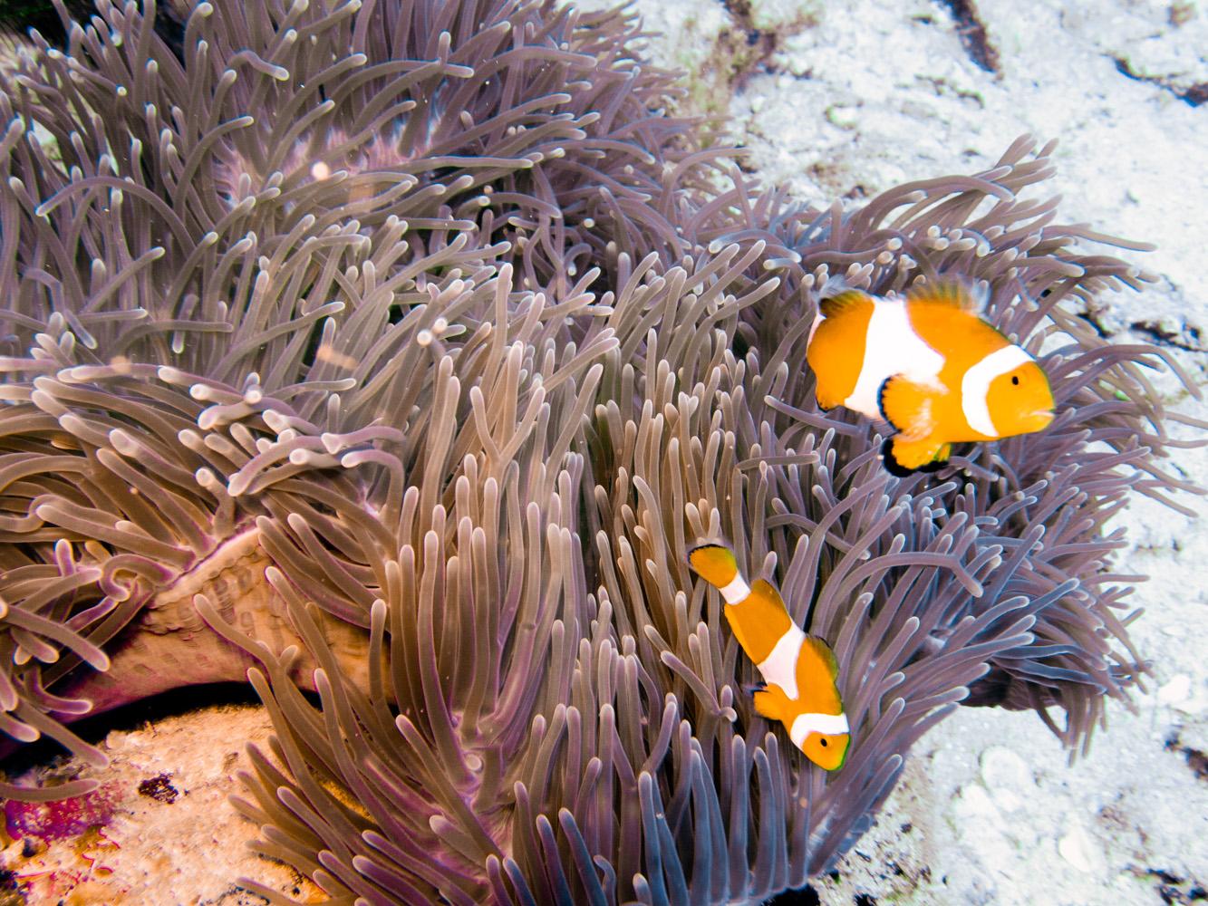 Clownfisch_Anemonenfisch_Nemo_-15