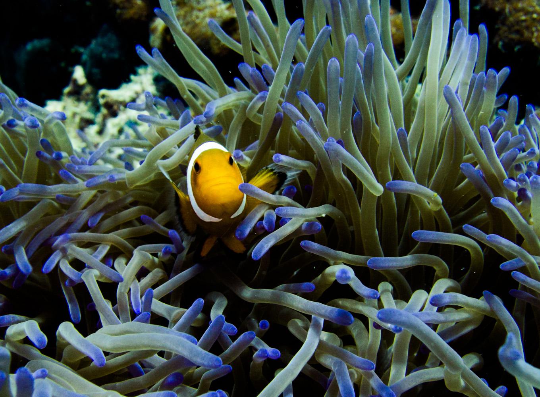 Clownfisch_Anemonenfisch_Nemo_-19