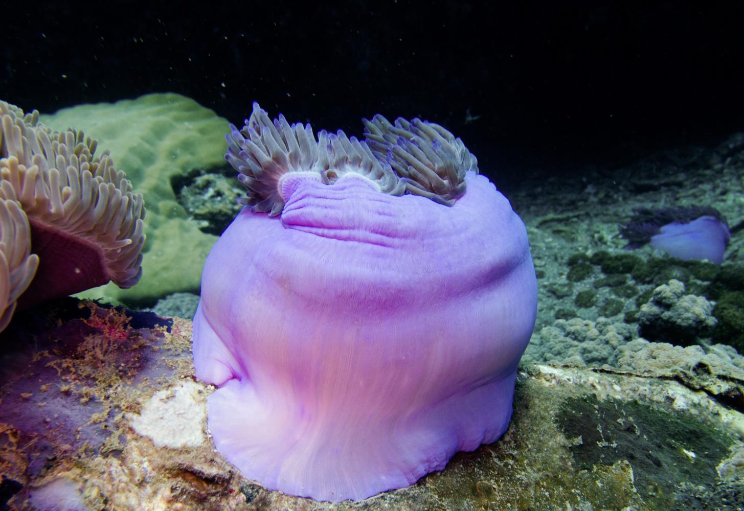 Clownfisch_Anemonenfisch_Nemo_-22