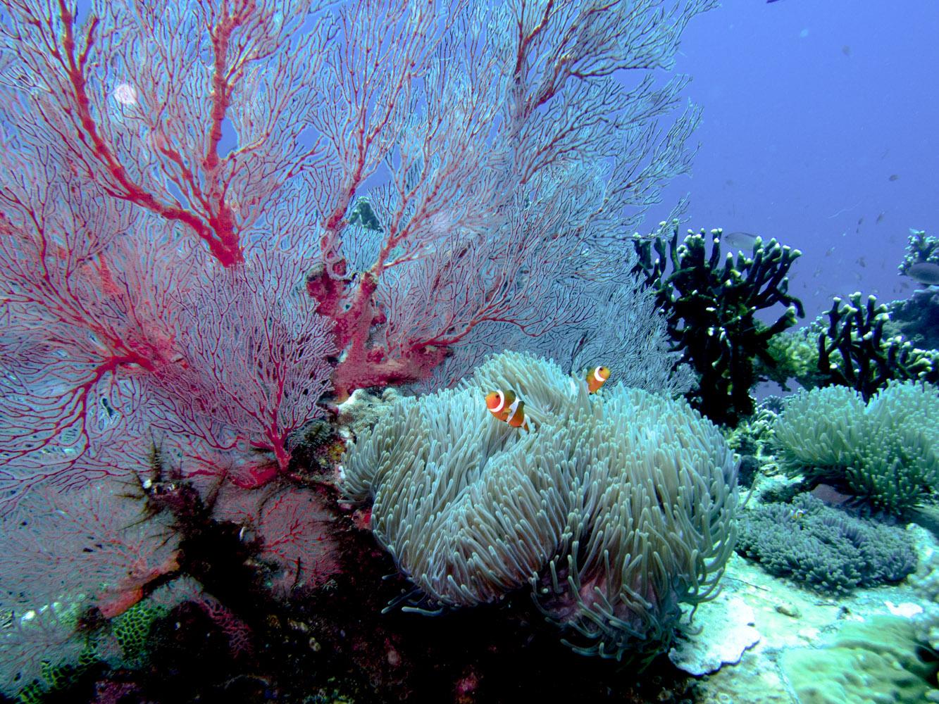 Clownfisch_Anemonenfisch_Nemo_-23
