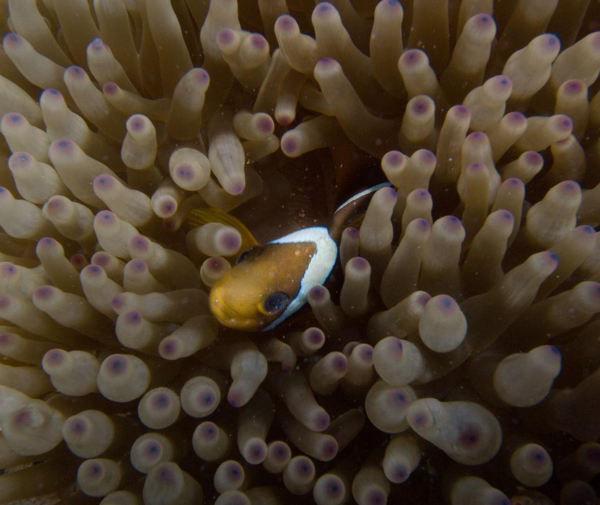Clownfisch_Anemonenfisch_Nemo_-36