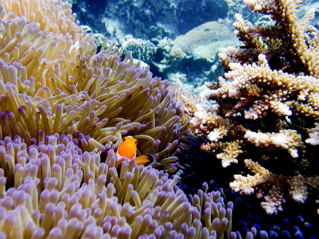 Clownfisch_Anemonenfisch_Nemo_-49