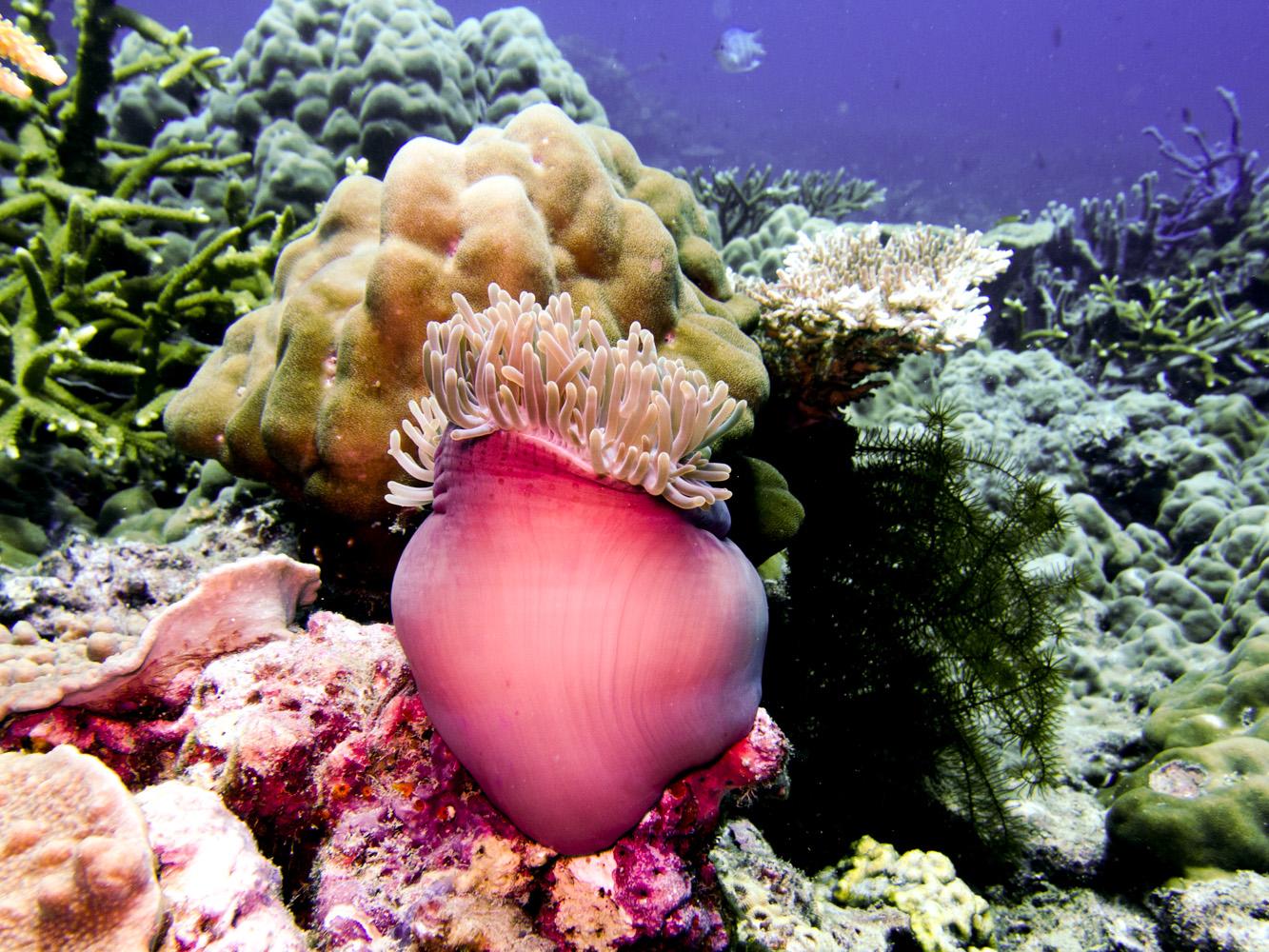 Clownfisch_Anemonenfisch_Nemo_-50