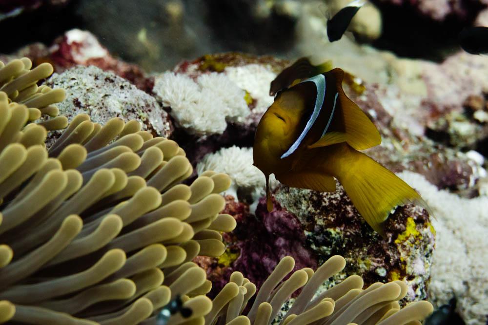 Clownfisch_Anemonenfisch_Nemo_-51