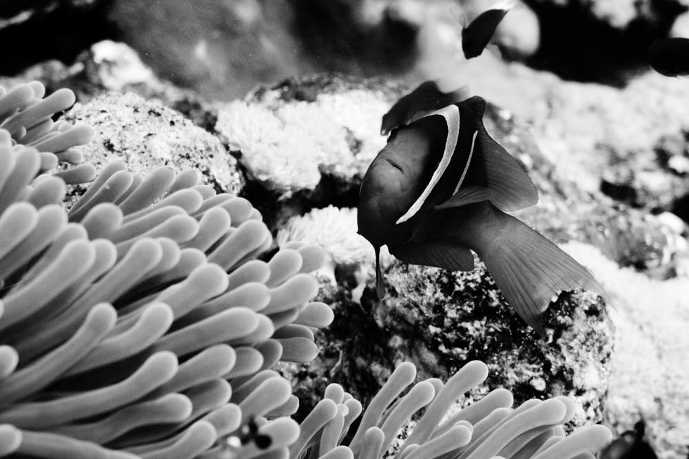 Clownfisch_Anemonenfisch_Nemo_-52