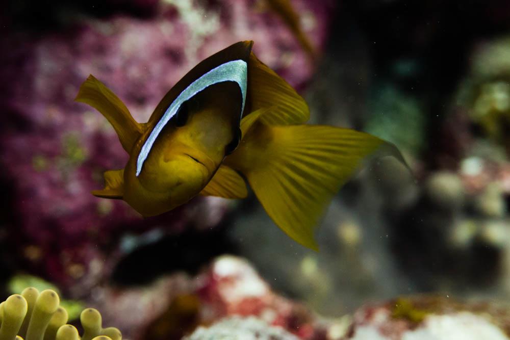 Clownfisch_Anemonenfisch_Nemo_-53