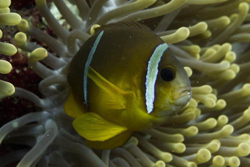 Clownfisch_Anemonenfisch_Nemo_-54