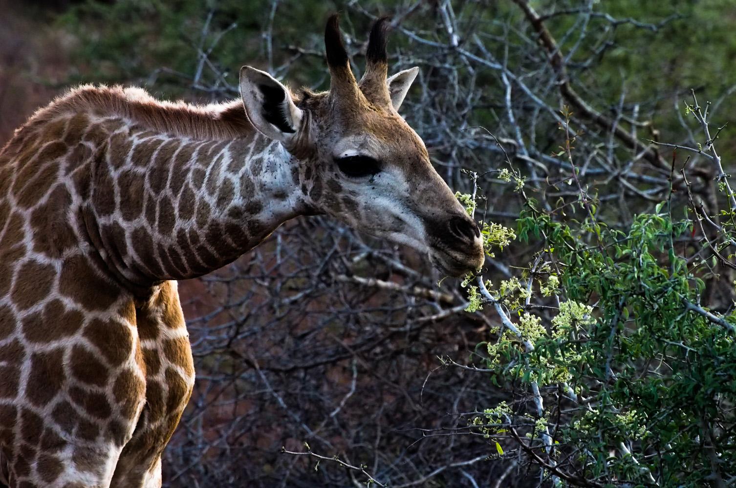 Südafrika_Southafrica_Kruger_Krüger