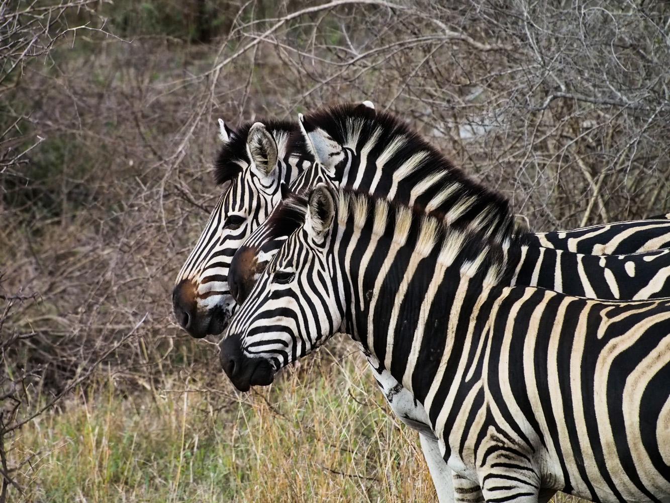 Südafrika_Southafrica_Kruger_Krüger_Nationalpark-15