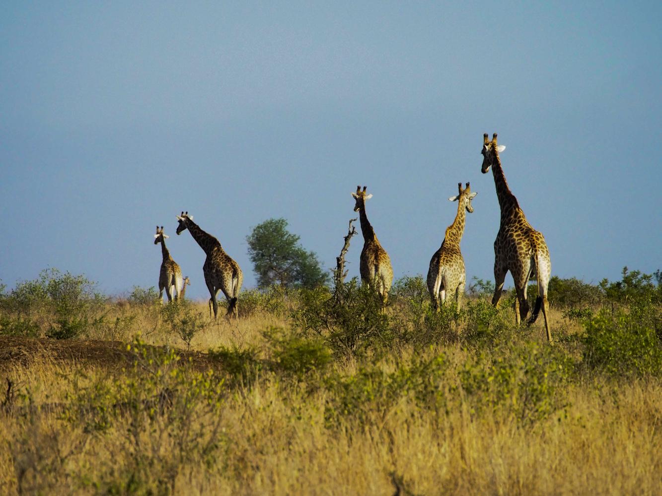 Südafrika_Southafrica_Kruger_Krüger_Nationalpark-35